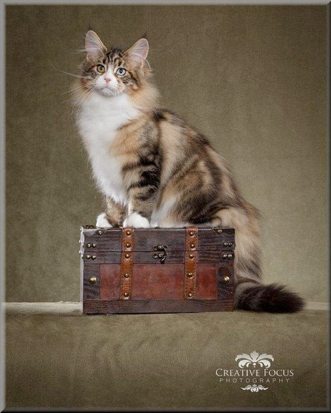 Maine coon cats mentor oh