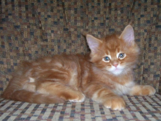 MAINE COON KITTENS PHOTO GALLERY
