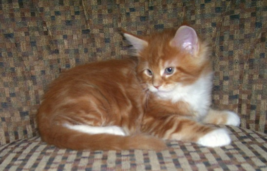 Maine coon pittsburgh