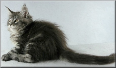 MORE OF OUR LOVING RETIRED MAINE COONS